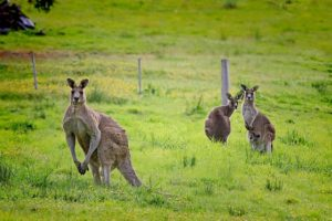 Image used under a Collective Commons License from: https://pixabay.com/en/kangaroo-australia-61196/