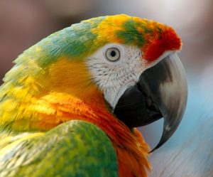 Image used under a Collective Commons License from: https://pixabay.com/en/macaw-parrot-bird-hybrid-red-943228/