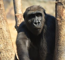 Image used under a Collective Commons License from: https://pixabay.com/photos/gorilla-monkey-animal-furry-3987205/